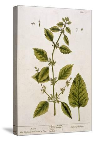 Balm, Plate 27 from A Curious Herbal, Published 1782