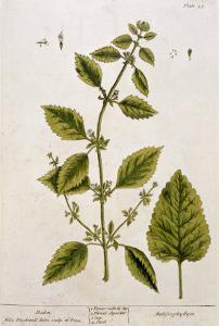 Balm, Plate 27 from A Curious Herbal, Published 1782 by Elizabeth Blackwell