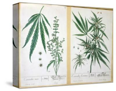 Cannabis Mas and Cannabis Foemina, from 'Herbarium Blackwellianum', 1757