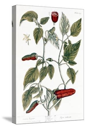 Chili Pepper, 1735
