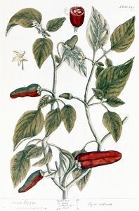 Chili Pepper, 1735 by Elizabeth Blackwell