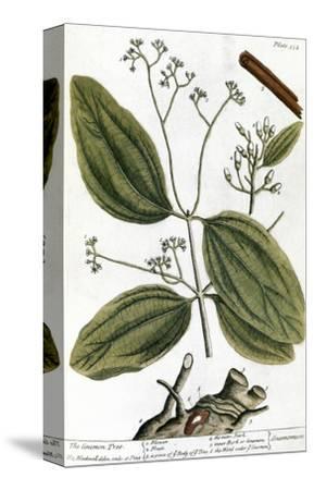 Cinnamon Tree, 1735