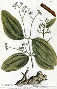 Cinnamon Tree, 1735 by Elizabeth Blackwell