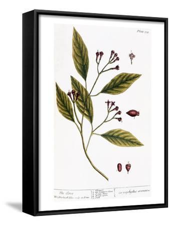Cloves, 1735