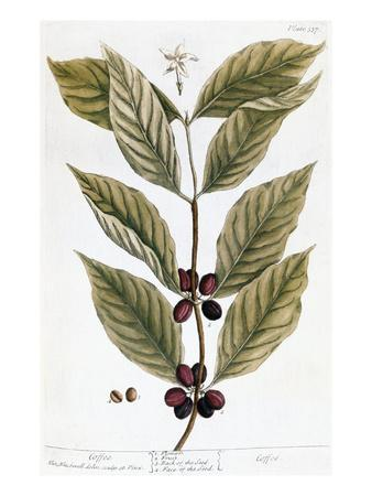 Cooffe Plant, 1735