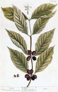 Cooffe Plant, 1735 by Elizabeth Blackwell