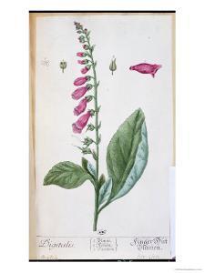 "Digitalis Purpurea, from ""Herbarium Blackwellianum,"" 1757 by Elizabeth Blackwell"