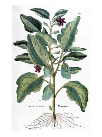 Eggplant, 1735