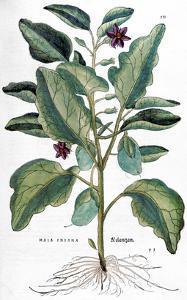 Eggplant, 1735 by Elizabeth Blackwell