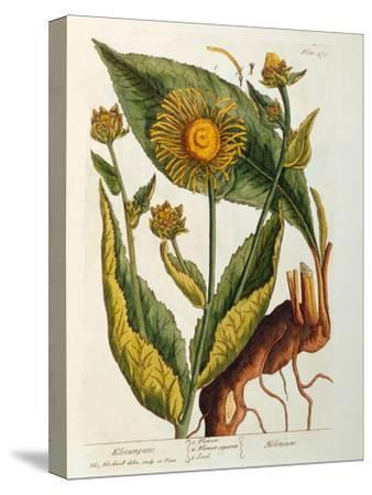 Elecampane, Plate 473 from 'A Curious Herbal', Published 1782