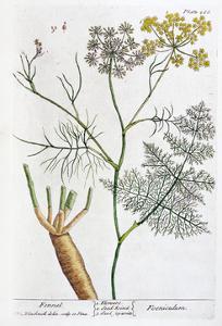 Fennel, 1782 by Elizabeth Blackwell