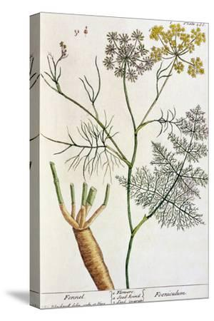 """Fennel, Plate 288 from """"A Curious Herbal,"""" Published 1782"""