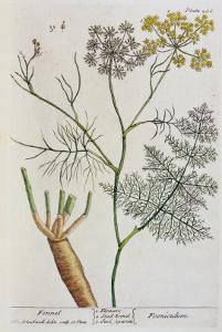 """Fennel, Plate 288 from """"A Curious Herbal,"""" Published 1782 by Elizabeth Blackwell"""