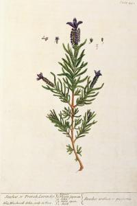 French Lavender, Plate 241 from 'A Curious Herbal', published 1782 by Elizabeth Blackwell