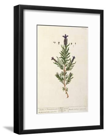 French Lavender, Plate 241 from 'A Curious Herbal', published 1782