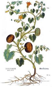 Gourd, 1735 by Elizabeth Blackwell
