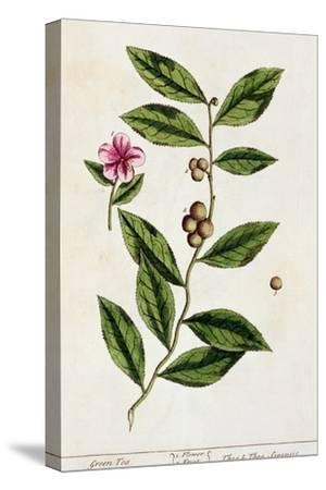 Green Tea, Plate 351 from A Curious Herbal, Published 1782