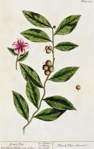 Green Tea, Plate 351 from A Curious Herbal, Published 1782 by Elizabeth Blackwell
