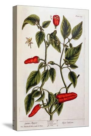 Guinea Pepper, Plate 129 from 'A Curious Herbal', Published 1782