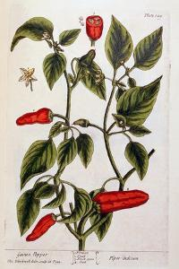 Guinea Pepper, Plate 129 from 'A Curious Herbal', Published 1782 by Elizabeth Blackwell