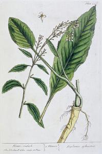 Horseradish, 1782 by Elizabeth Blackwell