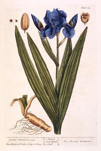 Iris, Plate 69 from 'A Curious Herbal', Published 1782 by Elizabeth Blackwell