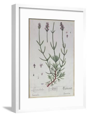 Lavender, Plate from 'Herbarium Blackwellianum' by the Artist, 1757