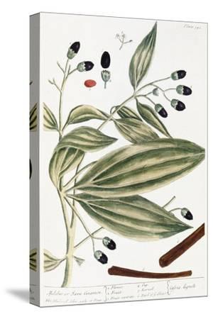 Malabar Cinnamon, 1735