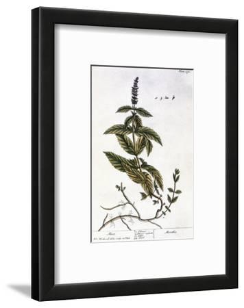 Mint Plant, 1735