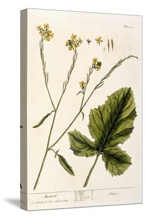 Mustard, Plate 446 from A Curious Herbal, Published 1782