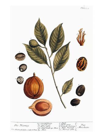 Nutmeg, 1735