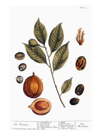 Nutmeg, 1735 by Elizabeth Blackwell