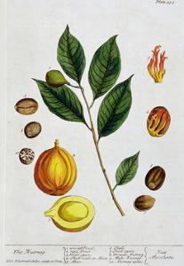 Nutmeg, 1782 by Elizabeth Blackwell