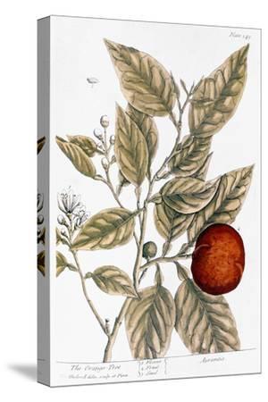 Orange Tree, 1735