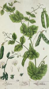 "Pea, Plate from ""Herbarium Blackwellianum"" by the Artist, 1757 by Elizabeth Blackwell"