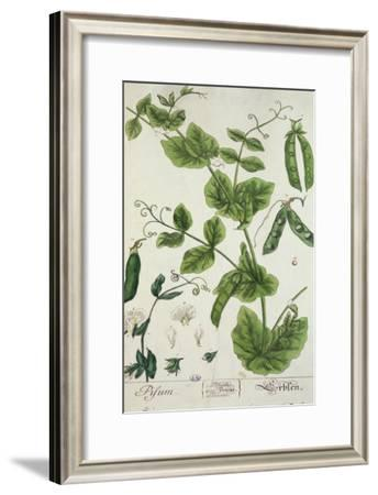 "Pea, Plate from ""Herbarium Blackwellianum"" by the Artist, 1757"