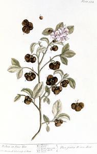 Peco Tea, 1735 by Elizabeth Blackwell