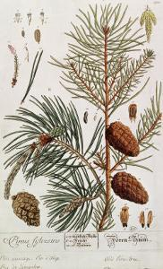 Pine Tree, from A Curious Herbal, Published in Nuremburg in 1757 by Elizabeth Blackwell