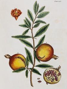 Pomegranate by Elizabeth Blackwell