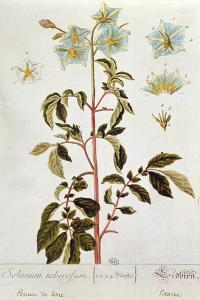 Potato Flowers, Plate from 'Herbarium Blackwellianum' Published 1757 in Nuremberg, Germany by Elizabeth Blackwell