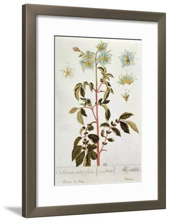 Potato Flowers, Plate from 'Herbarium Blackwellianum' Published 1757 in Nuremberg, Germany