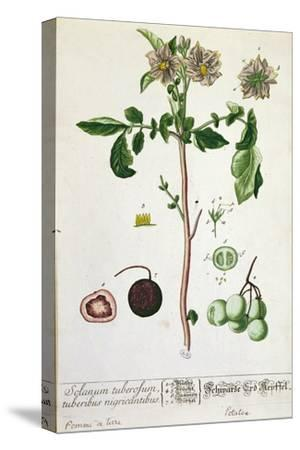 Potato Plant and Fruit, Plate from 'Herbarium Blackwellianum', Published 1757 in Nuremberg, Germany