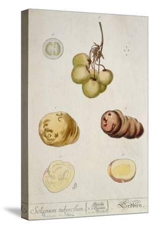 Potato Tubers, Plate from 'Herbarium Blackwellianum' Published in Nuremberg 1757