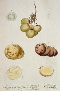 Potato Tubers, Plate from 'Herbarium Blackwellianum' Published in Nuremberg 1757 by Elizabeth Blackwell