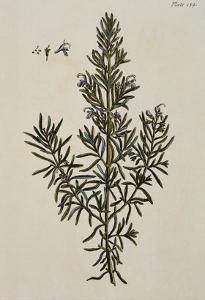 Rosemary by Elizabeth Blackwell