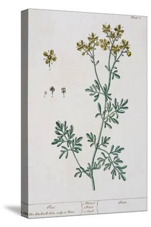 """Rue, Plate 7 from """"A Curious Herbal,"""" Published 1782"""