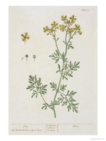 "Rue, Plate 7 from ""A Curious Herbal,"" Published 1782"