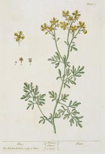 """Rue, Plate 7 from """"A Curious Herbal,"""" Published 1782 by Elizabeth Blackwell"""