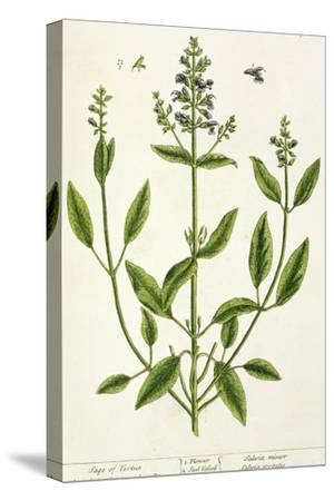 """Salviam from """"A Curious Herbal,"""" 1782"""