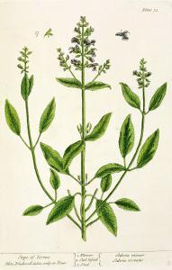 """Salviam from """"A Curious Herbal,"""" 1782 by Elizabeth Blackwell"""